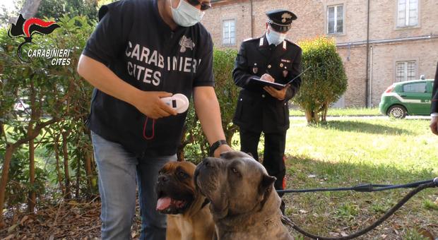 Traffico di cuccioli di cane di razza e maltrattamenti: raffica di denunce a veterinari e allevatori