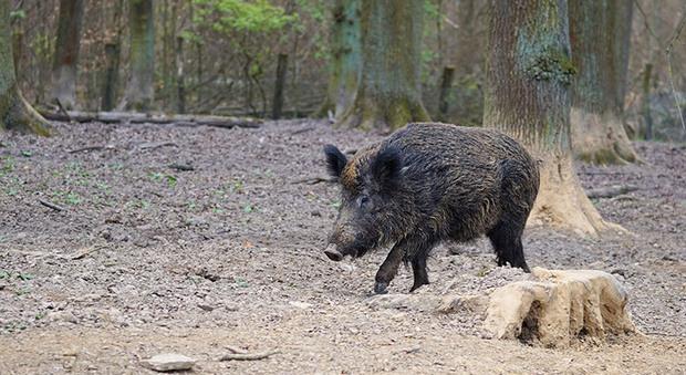 Troppi cinghiali, trappole per contenerli: il Parco del Conero raddoppia la task-force