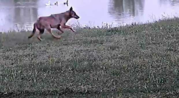 Il frame del lupo che sferrato l'assalto alla cagnolina in un terreno di Mombaroccio