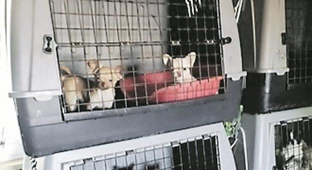 Epidemia nell'allevamento, strage di cani: «È un'emergenza, intervenga il Ministero»