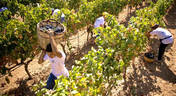 Coldiretti Marche, vendemmia 2020: produzione in aumento nel segno della qualità