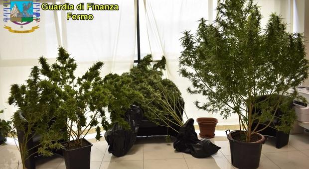 Uno viaggia con l'hashish in auto, l'altro una piantagione di marijuana in casa: doppio colpo della Finanza