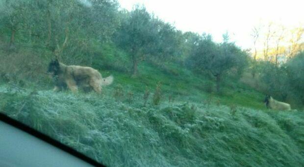 Cane aggredito da quattro lupi davanti alla porta di casa, salvato dai padroni