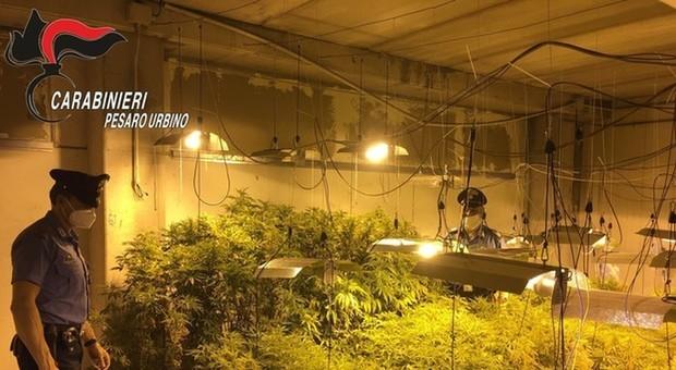 Pesaro, imponente piantagione di marijuana nel capannone in disuso: l'operaio agli arresti domiciliari