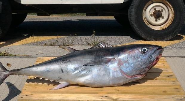 Pesaro, pesca e vende un succulento tonno rosso: multato anche il ristorante