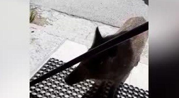 Natura senza freni: il cinghiale vuole entrare nel bar pieno di gente al Furlo