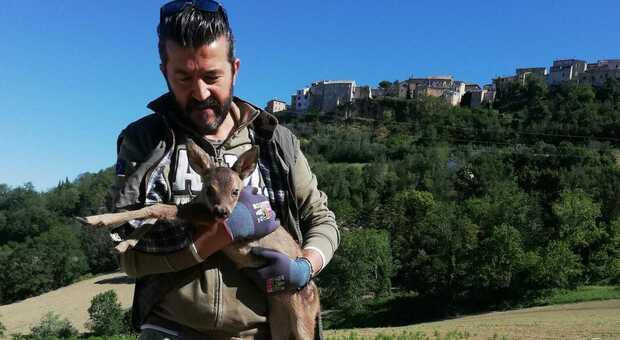 Cucciolo di capriolo vaga impaurito per le vie del centro, i volontari del Cras ora cercano la madre