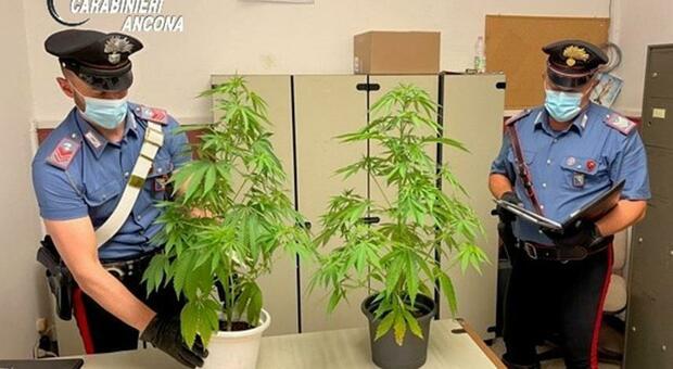 Jesi, sorpreso con l'hashish in auto, gli trovano in casa anche le piante di marijuana