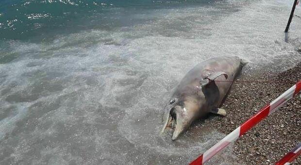 Choc tra i bagnanti: la carcassa di un delfino rinvenuta sulla spiaggia. E' stato trascinato a riva dalle mareggiate