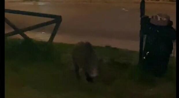 Una famigliola di cinghiali spunta al parco di Posatora: casi sempre più frequenti