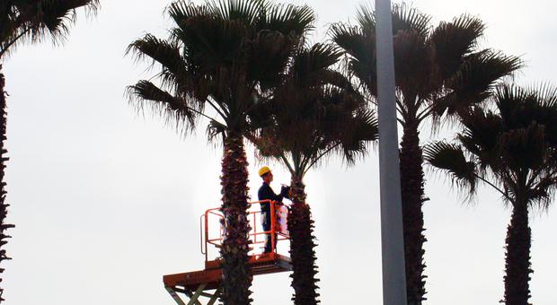 Sono 1500 le palme da proteggere in Riviera