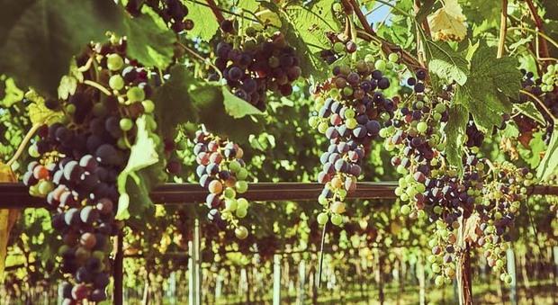 Il clima condiziona i raccolti, troppo caldo d'estate: meno vino ma di ottima qualità. Che vendemmia è nelle Marche