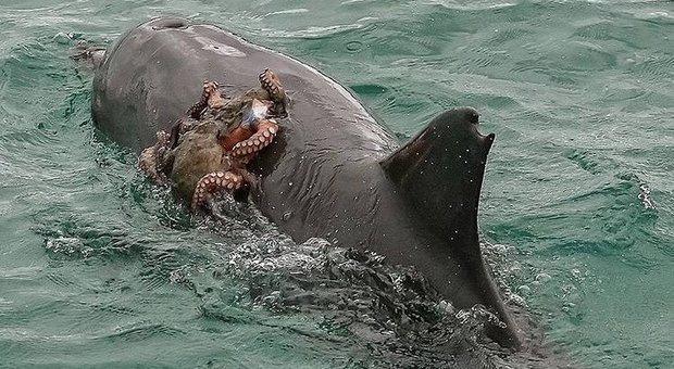 """Il polpo pigro chiede un """"passaggio"""" al delfino: la foto fa il giro del web (Instagram - Jodie Lowe)"""