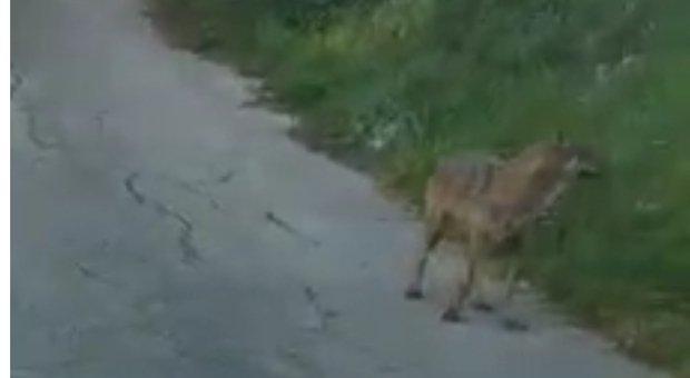 Paura nella frazione di Montesicuro, un lupo si avvicina al centro abitato. Non è la prima volta che succede nella zona