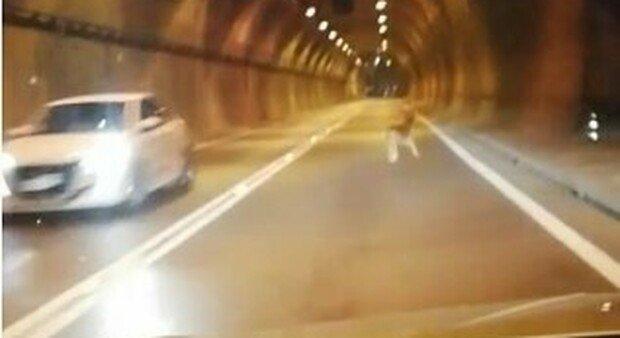 A bocca aperta: un cerbiatto avvistato mentre percorre a gran velocità la galleria San Martino