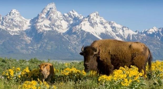 Andare a spasso tra alci e bisonti nel meraviglioso parco di Yellowstone