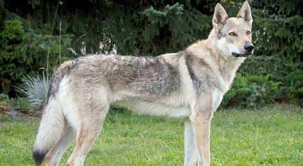 Azzannata alla gola da un cane lupo in casa di amici, grave una bimba di 11 anni