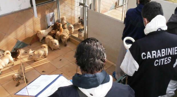 Il blitz dei carabinieri nell'allevamento che è stato sequestrato