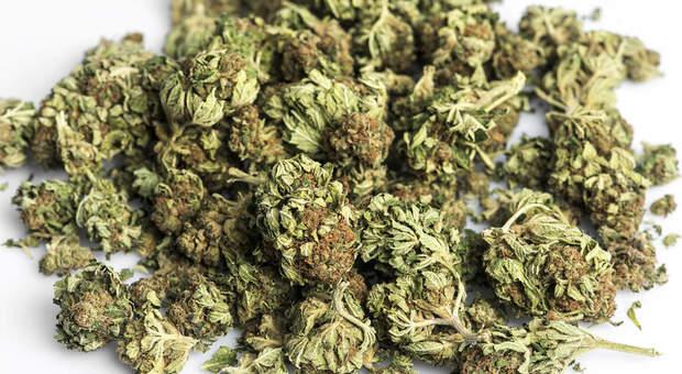 Pesaro, i ladri entrano nel negozio dalla finestra, ignorano i soldi ma fanno il pieno di cannabis light