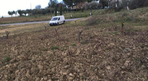 Serra De' Conti, trecento alberi abbattuti con la motosega: devastato il viscioleto dell'azienda vinicola