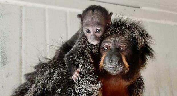 Il Parco zoo riapre i cancelli con un fiocco azzurro: il piccolo Sakè saluta i primi visitatori