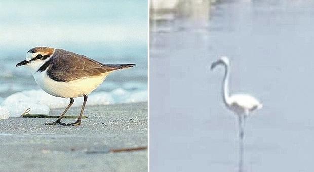Pesaro, dopo fenicotteri e tartarughe si aspetta il fratino: detective da spiaggia per salvare i nidi