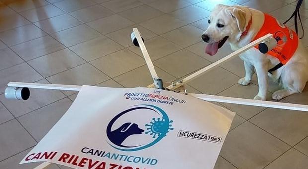 All'Università Politecnica ecco gli screendog , sono i cani che fiutano i casi positivi