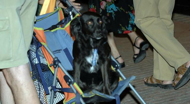 Un cane trasportato con un passeggino