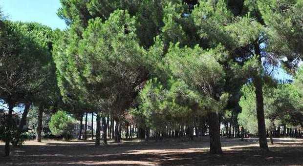Lido dei Pini, per la Festa dell'Albero nuove piante per rinfoltire la pineta della Gallinara