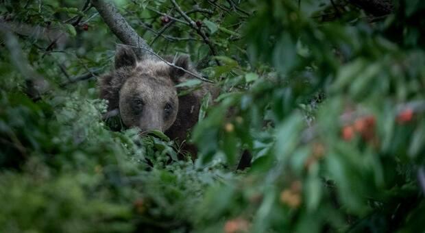 L'orsa Amarena fotografata dagli escursionisti maceratesi