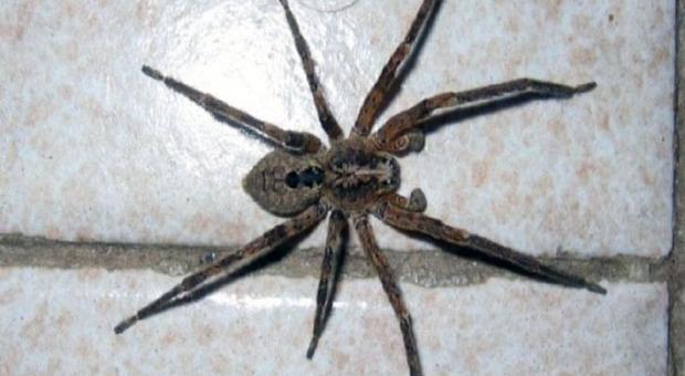 Un esemplare di ragno violino