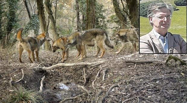 Vitelli uccisi dai lupi, il presidente del parco: «Pronti con le fototrappole. I collari? Vedremo»