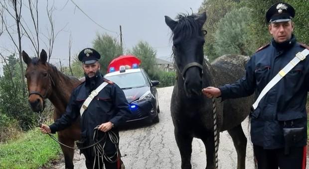 Due cavalli liberi trovati in strada a San Silvestro: multato il proprietario