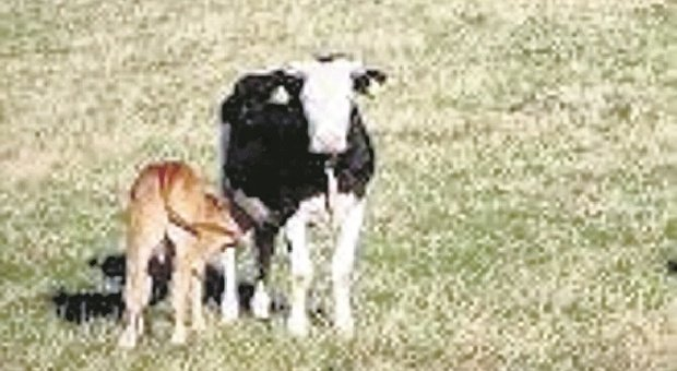 Passa troppo vicino al vitellino e mamma mucca la carica: escursionista all'ospedale