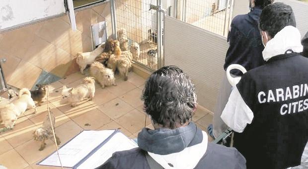 Scoppia l'epidemia nell'allevamento già sequestrato: 30 cani morti. Stop alle adozioni
