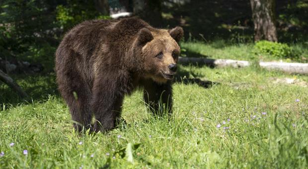 Parco, i turisti la inseguono per un filmato, l'orsa Giacomina attacca: ecco cosa è successo