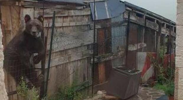 Ennesimo blitz dell'orso Juan Carrito in un pollaio: strage di galline. I residenti: «Si avvicina alle case, troppi rischi»